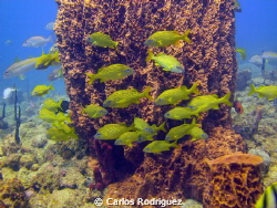 A school of French Grunts next to a Giant Barrel Sponge, ... by Carlos Rodriguez 